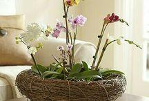 Phalaenopsis Idea Pot