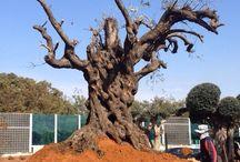 עץ זית עתיק משתלות ירוק ישראלי / עץ זית עתיק, מיוחד בגודלו ובצורתו, עץ זית נדיר ביופיו. ניתן להשיג במשתלות ירוק ישראלי.