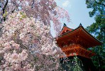 Japan- Sakura