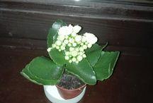 Növényke