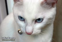 White Cats / Fans of pure white cats? This is the board for you. We love cats of all colors and breeds but we also love to celebrate a special feline look and white cats meet this criteria!