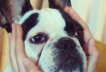 Bulldog frances, mi chatita