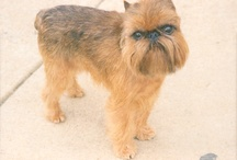 Brussels Griffons / by Holly Taack