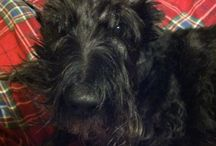 "Finnegan ""Finn MacCool"" / I adopted my ""wee mon"", a Scottish Terrier from the local Animal Shelter and I'm in love."