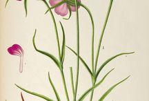 ピンクの花(corn cockle)