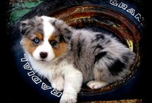 Australian Shepard puppies / by Jo Haynes