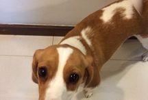 Bonita / Cliques da minha beagle, Bonita.