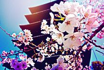 Cherry Blossoms  / by Lil´ Sweet Haven .