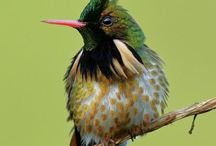 Black-crested Coquette : Lophornis helenae