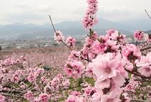 paradise 桃源郷 /  #peach blossom #yamanashi  #桃源郷 #山梨