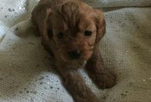 Teddy the Toy Cavoodle