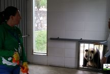 2016 ChengDu Panda Volunteer / 2016 ChengDu Panda Volunteer program Application cost:115 usd/per charter vehicle to DuJiangYan Panda Base:115 usd. www.westchinago.com info@westchinago.com