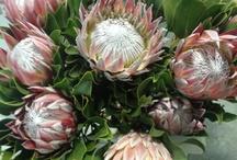 Flower: King Protea
