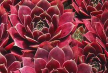Succulents / Those colorful, drought-tolerant beauties