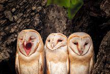 Owl / Beautiful  Owls