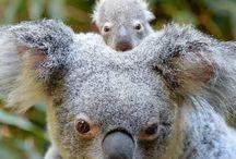 Meet little Macadamia / Macadamia, the koala joey born at Australia Zoo