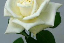 Rosas Hermosas / Flores