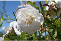 Shrubs - Roses / Photos of the many varieties of roses to be found at Urban Tree Farm Nursery in Santa Rosa, CA - We Aren't Just Trees Anymore!