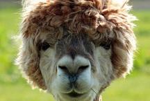 wool :)))