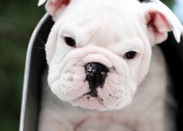 Cute Bulldog Pictures / Adorable Bulldogs make even the grouchiest person smile.  / by Nicole Dean
