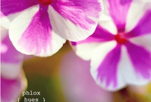 Phlox, purple,lavender,eggplant,purple,horchid hush / by Hoperalab