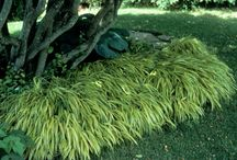larkspur modern shade, rain garden