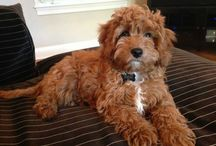 Cavapoo little hairy