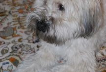 Bailey-My Soft Coated Wheaten Terrier