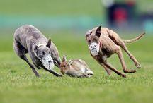 Sighthounds / Sighthouns beauty