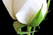 beyaz gulum