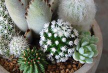 cacti/succulents
