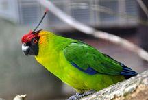 """Eunymphicus / Genere monospecifico di pappagallo delle isole del Pacifico, ottimo volatore e dal carattere schivo e timido, che presenta la curiosa caratteristica di evidenziare due lunghe penne sulla sommità del capo rivolte all'indietro che ricordano due corna, e di qui il simpatico nome comune di """"parrocchetto cornuto"""".  http://www.pappagallinelmondo.it/eunymphicus.html"""