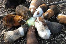 Rikki's Refuge Bunnies and Guinea Pigs! / Rikki's Refuge, Rapidan, Virginia, www.rikkisrefuge.org