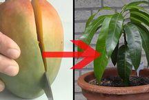 Mango-Baum