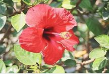 flor de hibisco depressão. Fácil