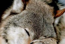 loup ❤