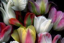 Tulips my dream flower. I love it.