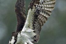 Hawks / Eagles