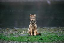 Wolf / by Flavia Davis