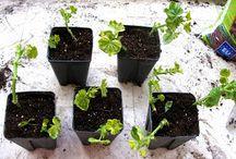 Κηπουρική / Συμβουλές και ιδέες για κηπουρική για ερασιτέχνες!!