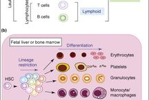 kan hucreleri