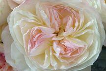 Anglické růže Davida Austina