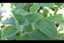 plantas chas curativas