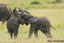 Baby Elephants / Baby elephant pictures
