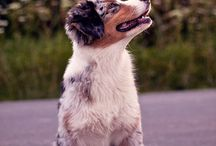 Australian Shepherd; my future dog