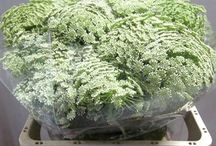 Ammi Majus & Anethum / Different varieties of fresh cut Ammi Majus & Anethum specifically grown for the wholesale flower trade. Also known as Lady's Lace.