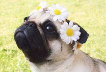 Pug's Love