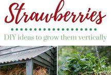 jordbær planting