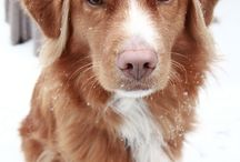 DOG / Nova scotia duck retriever