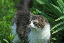 Koty / Koty te duże i małe, domowe i drapieżne. Zdjęcia wszystkich kotów na świecie